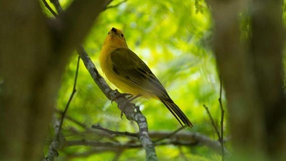 Cara Merawat Burung Kenari Agar Memiliki Suara Indah