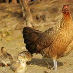 5 Fakta Tentang Ayam, Ternyata Hewan yang Pintar Lho!