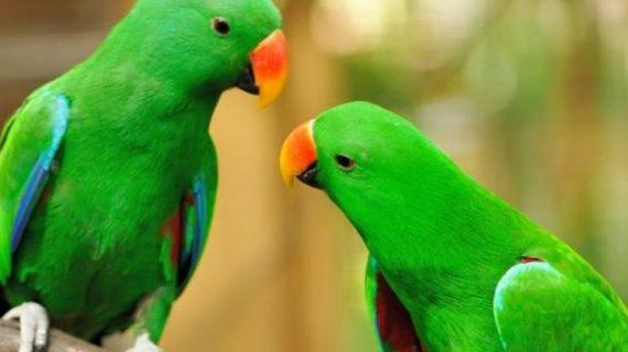 Serba Serbi Hewan, Bagaimana Sih Burung Beo Menirukan Suara Manusia?