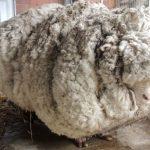 Manfaat Kulit dan Bulu Domba   Kegunaannya di Berbagai Bidang
