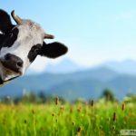 Bagaimana tips mengatasi hewan Sapi sulit untuk birahi?