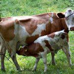 Fokus Pada Sapi Friesian Holstein Dara Adalah Cara Bisnis Sapi Perah Yang Baik dan Benar