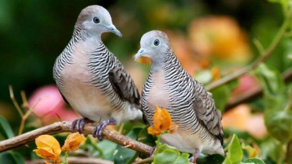 Jenis Makanan Burung Perkutut