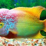 Budidaya Ternak Ikan Lou Han yang Cocok untuk Pemula