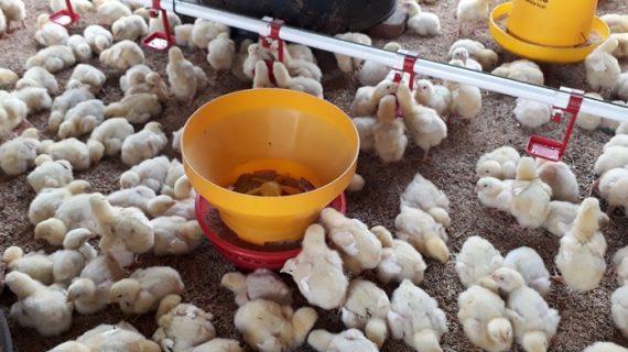 Langkah-langkah Membuat Ayam Broiler di Kandang Tetap Prima