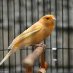 4 Cara Menjemur Burung Kenari Beserta Manfaatnnya