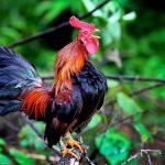 Tips Merawat Ayam Ketawa