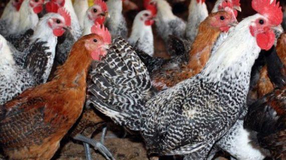 4 Langkah Sukses Beternak Ayam Kampung