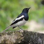 Cara Merawat Burung Kacer Agar Sehat dan Gemar Berkicau