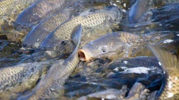 8 Tips Sukses Ternak Ikan Mas Bagi Pemula