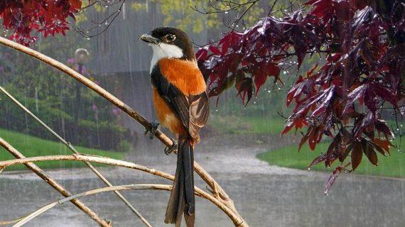 Kumpulan artikel perawatan burung pada musim hujan