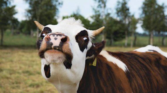 Pakan Sapi Perah Jantan Yang Dipelihara Untuk Menghasilkan Daging Merah, Apa Aja Ya?