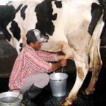 Inilah Dahsyatnya Manfaat Susu Sapi Murni Bagi Kesehatan Anda