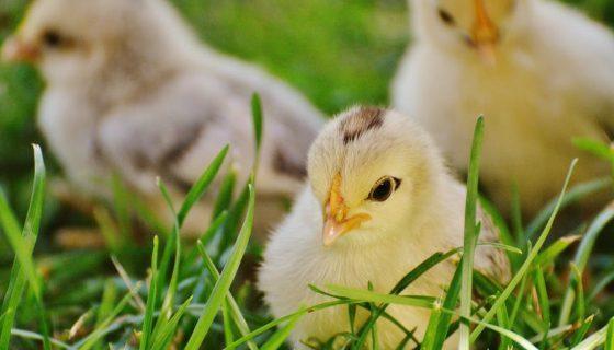 Memelihara Anak Ayam yang berkualitas