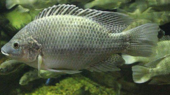 Cara Budidaya Ternak Ikan Mujair Paling Lengkap dan Mudah