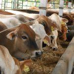 Ketahui Pembentukan dan Sumber Protein Pada Ternak Ruminansia