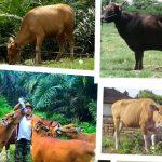 Ternak sapi bali dan Ciri-Ciri Sapi Bali yang perlu diketahui