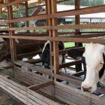 Panduan umum ternak sapi perah