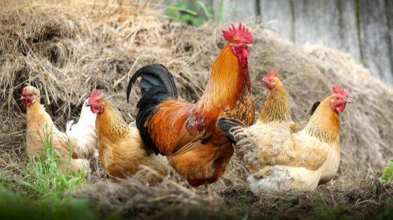 Kereen..! Inilah Cara Membuat Pakan Ayam Kampung Alternatif Yang Praktis
