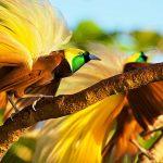 Mengenal Tujuh Jenis Burung Cendrawasih Khas Indonesia