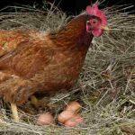 Kebiasaan Buruk Ayam Petelur yang Merugikan