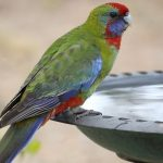 6 Merk Vitamin Burung Kicau Terbaik, Bikin Lovebird, Kenari, dan Murai Peliharaan Jadi Gacor