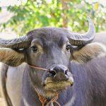 Keistimewaan Ternak Kerbau dan Teknis Pemeliharaannya di Indonesia