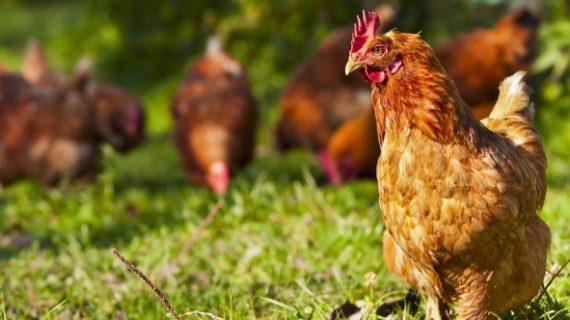 Apa khasiat ayam kampung yang tidak diketahui?