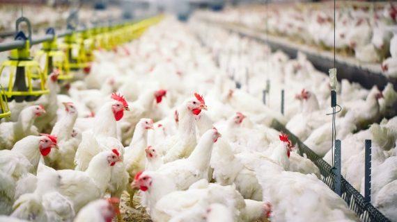 Meningkatkan Imunitas Ayam Pedaging Menggunakan Hydrolysable Tannin