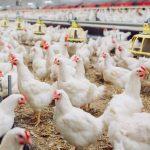 Ternak Ayam Bangkok Sukses Khusus Pemula
