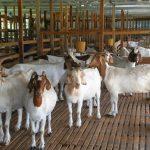 Cara Beternak Kambing Yang Baik dan Benar