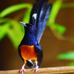 Cara Membedakan Burung Murai Batu Bakalan dan Dewasa