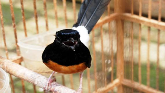 Cara Merawat Burung Murai Batu Supaya Gacor
