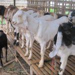 Kelebihan Pakan Fermentasi Untuk Ternak Kambing