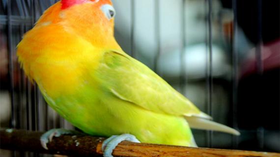 Cara Merawat Lovebird Agar Bisa Ngekek Panjang