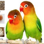 Rahasia Racikan Pakan Lovebird Agar Ngekek Panjang dan Juara