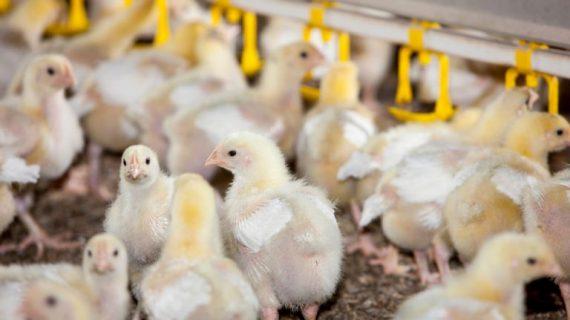 3 Cara Ternak Ayam Kampung Organik yang Baik dan Benar