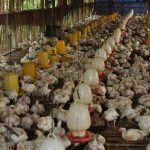Sejarah Masuknya Ayam Broiler Ke Indonesia