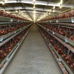 5 Analisa Ternak Ayam Petelur yang Penting Diketahui