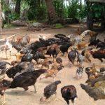 Peluang Usaha Ternak Ayam Kampung Cara Memilih Bibit Yang Tepat
