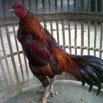 Mengetahui Kelebihan dan Kekurangan Ayam Pamagon