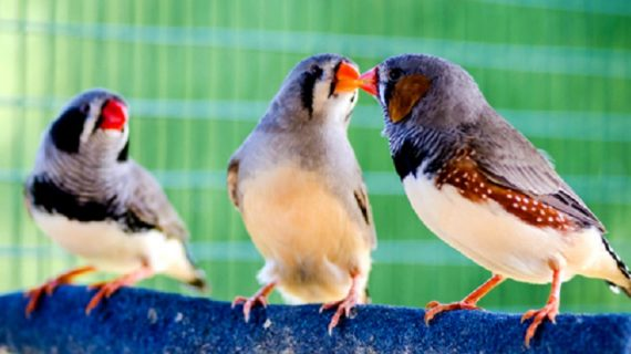 Buat Para Kicau Mania, Ini Loh Manfaat Pelihara Burung bagi Kesehatan Anda