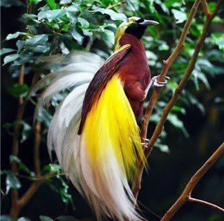10 Burung Cendrawasih Terindah di Dunia