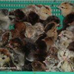 Cara Memilih Bibit Ayam Kampung Unggulan Berkualitas