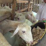 Pakan Fermentasi Kambing untuk Penggemukan Kambing