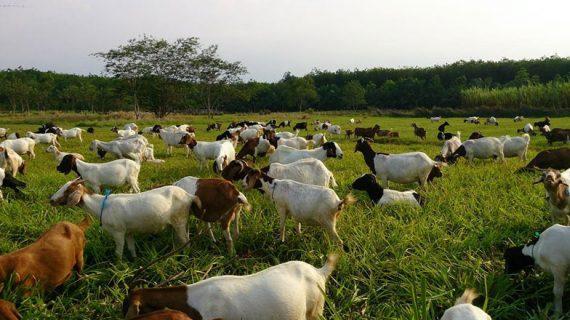 Panduan umum ternak kambing
