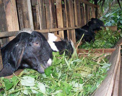 Cara Ternak Kambing yang Baik Agar Cepat Gemuk dan Menguntungkan