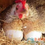 Keuntungan Ternak Ayam Kampung di Rumah