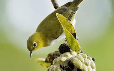 Racikan Masakan Dan Minuman Harian Burung Pleci Gacor Ngalas