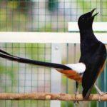 Cara Merawat Burung Murai Batu yang Benar